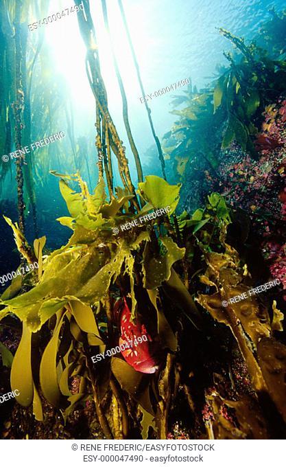 Kelp greenling (Hexagrammos decagrammus) hiding in kelp. Pacific Northwest