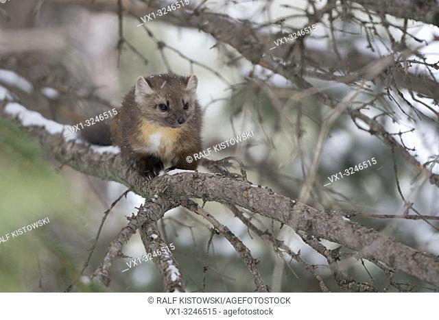 Pine Marten (Martes americana), sitting in a tree, watching, nice winter fur, Yellowstone NP, USA.