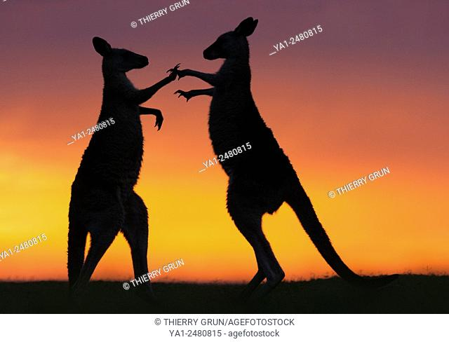 Australia, New South Wales, Murramarang National Park, Pebbly beach, Two Eastern Grey Kangaroos males fighting at sunrise