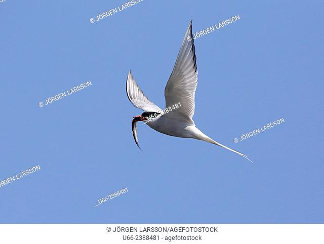 Common tern, Sterna hirundo, with catch
