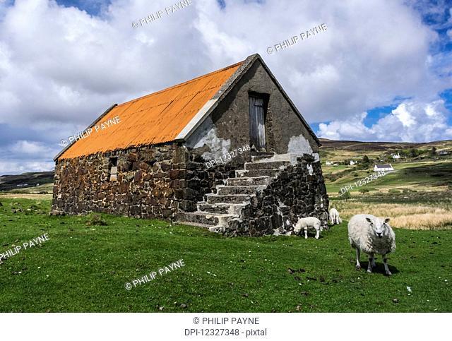 Old stone barn with orange roof and grazing sheep; Isle of Skye, Scotland