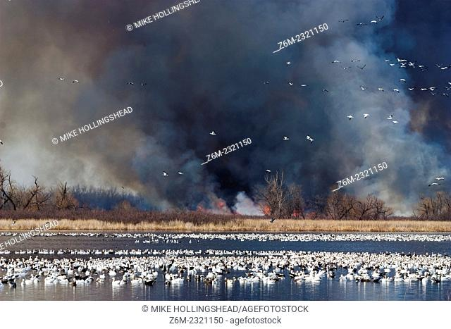 Smoke rises behind a flock of snow geese during a controlled burn at Squaw Creek National Wildlife Refuge in northwest Missouri