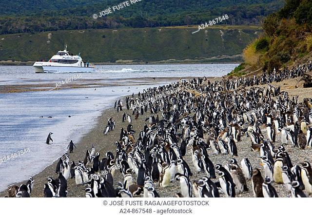 Penguins at Martillo Island (near Ushuaia), Tierra del Fuego, Argentina (March 2009)