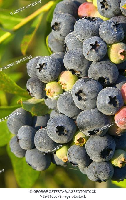 Blueberries, Marion County, Oregon