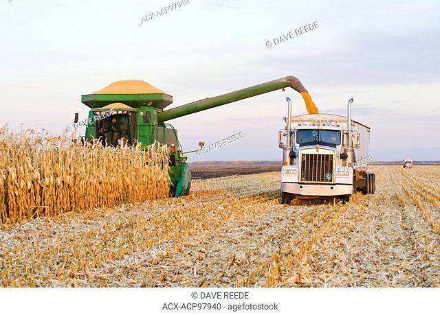 a combine unloads corn into a farm truck during the grain/feed corn harvest, near Niverville, Manitoba