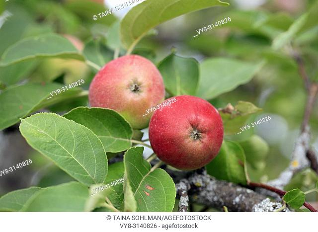 Two red apples growing on the apple tree, shallow dof