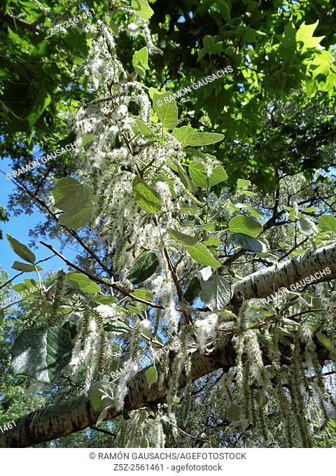 Cottonwood poplar (Populus nigra)