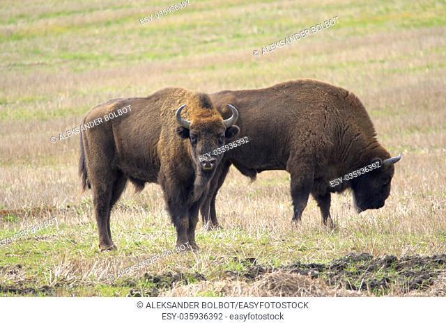 Two of European Bison bulls resting in springtime, Podlasie, Poland, Europe