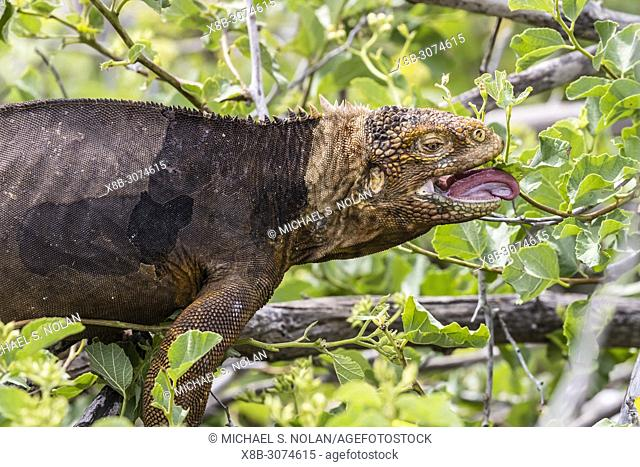 An adult Galápagos land iguana, Conolophus subcristatus, feeding on North Seymour Island, Galápagos, Ecuador