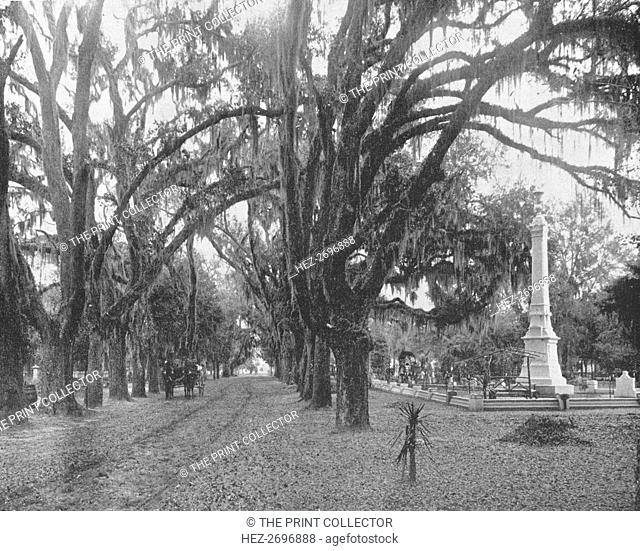 Spanish Moss on Live Oaks, Savannah, Georgia, USA, c1900. Creator: Unknown