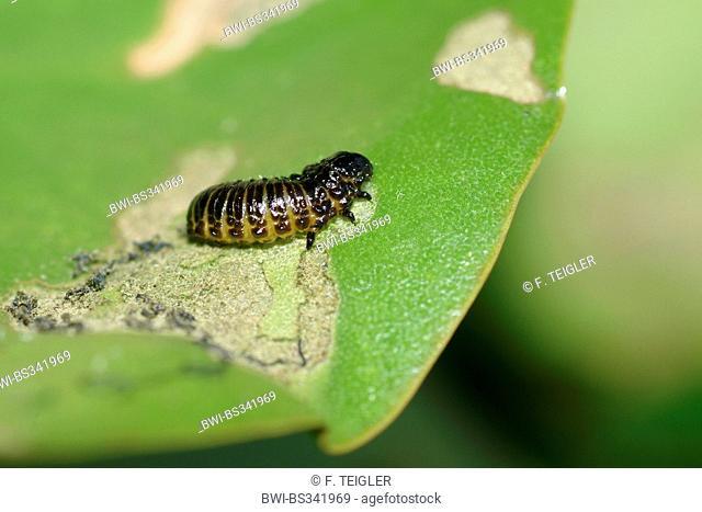 Waterlily leaf beetle, Waterlily beetle, Pond-lily leaf-beetle (Galerucella nymphaeae), larva on leaf, Germany