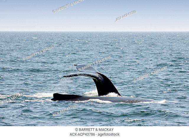 Humpback whale fluke, Megaptera novaeangliae off Grand Manan Island, Bay of Fundy, New Brunswick, Canada