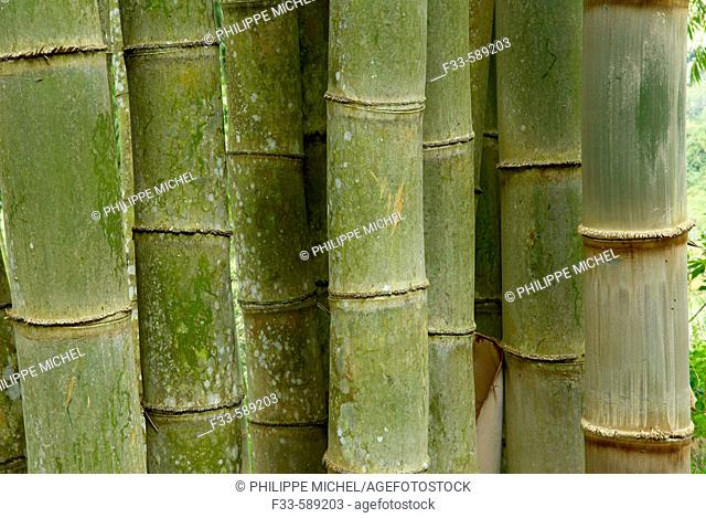 Bamboo. Flores. Indonesia