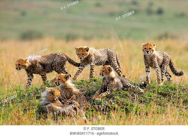cheetah (Acinonyx jubatus), six cubs, Kenya, Masai Mara National Park