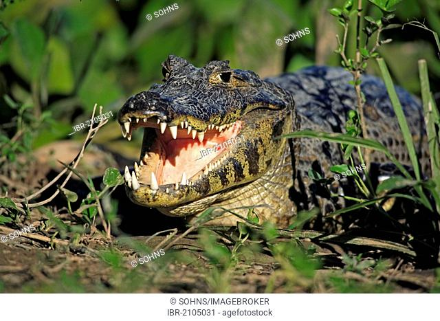 Yacaré Caiman or Piranha Caiman (Caiman yacare), adult, on land, Pantanal, Brazil, South America
