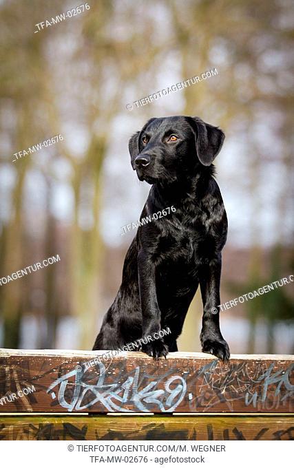 standing Labrador Retriever