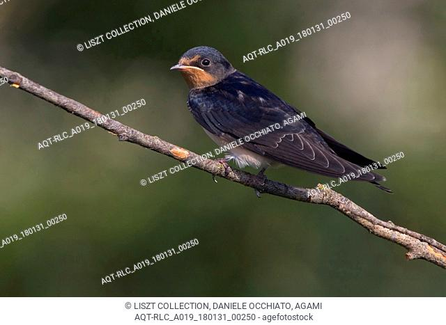Barn Swallow perched, Barn Swallow, Hirundo rustica