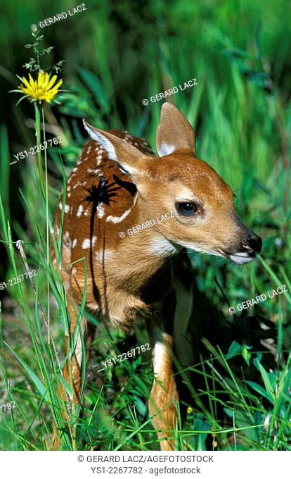 White-Tailed Deer, odocoileus virginianus, Fawn with Flower