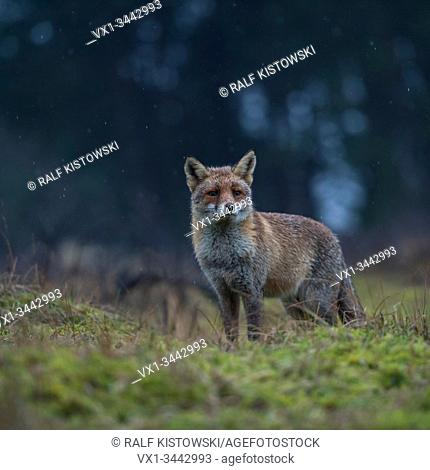 Red Fox / Rotfuchs ( Vulpes vulpes ) adult, stands on a clearing in front of a dark forest, watching attentively, pointed ears, rainy day, wildlife, Europe