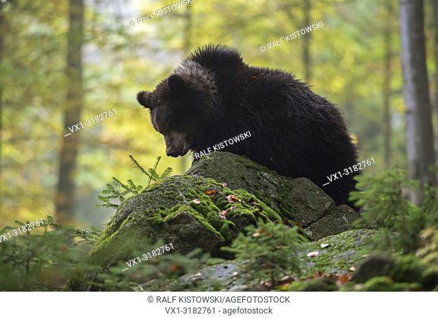 European Brown Bear (Ursus arctos ) climbing around on rocks in a natural mixed forest.