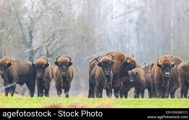 European Bison herd in snowless winter time against pine trees in morning, Podlasie Region, Poland, Europe