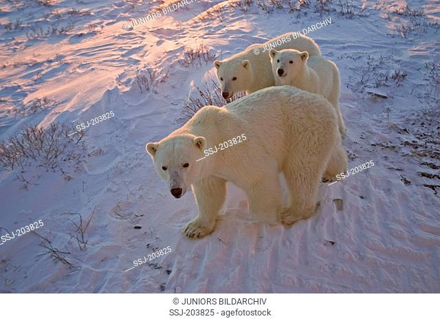 Polar Bear (Ursus maritimus, Thalarctos maritimus). Mother with two cubs in tundra in evening light. Hudson Bay, Canada