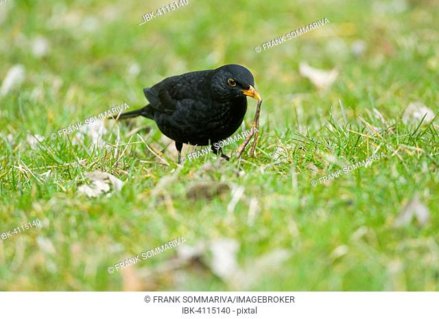 Blackbird (Turdus merula), male, with an earthworm in its beak, Thuringia, Germany