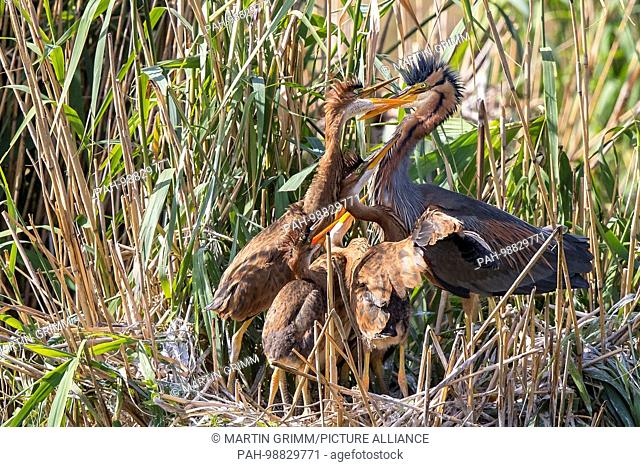 Purple Heron (Ardea purpurea) adult feeding young in nest, Baden-Wuerttemberg, Germany   usage worldwide. - Waghäusel/Baden-Württemberg/Germany
