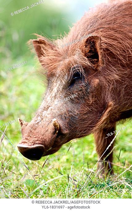 Portrait of a warthog in Ethiopia