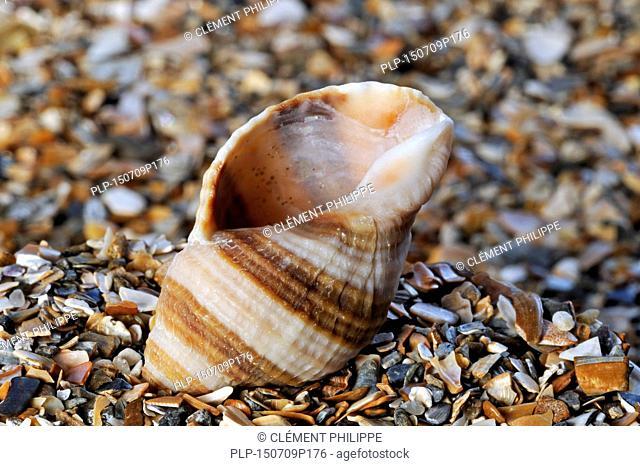 Dog whelk / dogwhelk / Atlantic dogwinkle (Nucella lapillus) washed on beach