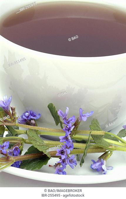 Herb tea made of Ground ivy, Groundivytea, Glechoma herderaceum, Edera terrestra