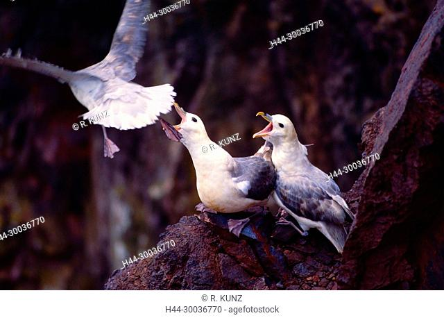 Northern Fulmar, Fulmarus glacialis, Procellariidae, couple, nest site, defense, bird, animal, St. Abb's Head, Scotland, Great Britain