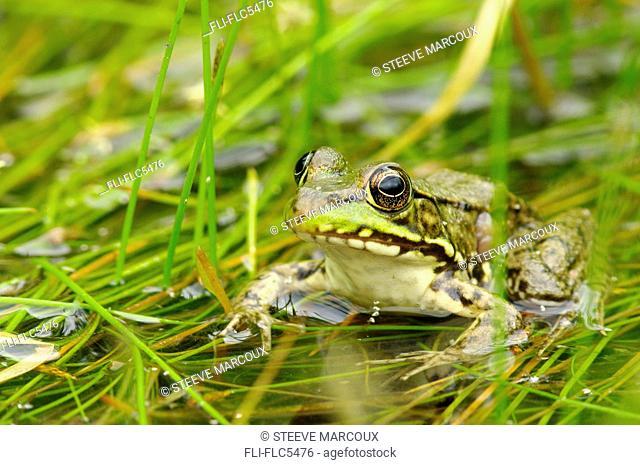 Green Frog, Rana clamitans melanota, Vaudreuil, Quebec, Canada