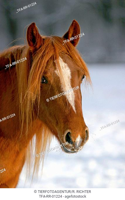 Morgan Horse Portrait