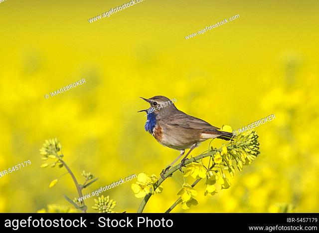 White-spotted bluethroat (Luscinia svecica cyanecula), male calls in spring from the blossom in the rape field