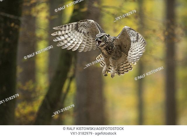 Great Horned Owl / Tiger Owl ( Bubo virginianus ) in aggressive flight through an autumnal colored broadleaved forest