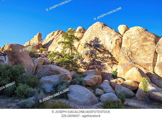 Pine tree and rock formations on the Barker Dam Loop Trail. Joshua Tree National Park, California, USA