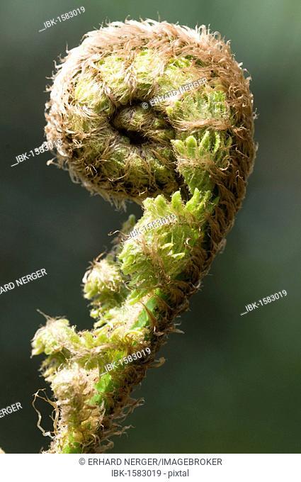 Braun's holly fern (Polystichum braunii) sprouting frond