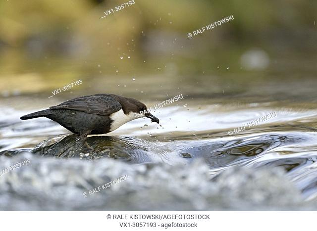 Successful hunting of White-throated Dipper / Dipper (Cinclus cinclus) stands on a rock in fast flowing water, wildlife, Europe