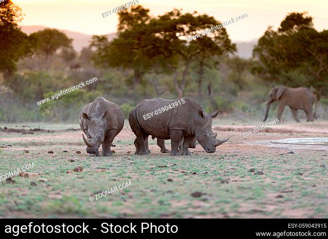White Rhino in the wilderness of Africa