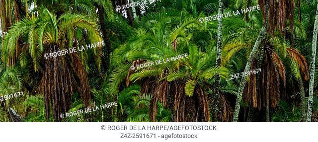 Wild Date Palm (Phoenix reclinata). Serengeti National Park. Tanzania