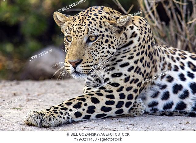 Leopard (Panthera pardus) - Okonjima Nature Reserve, Namibia, Africa