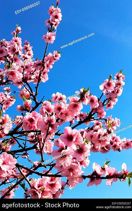 Almond blossoms, cherry blossoms (Prunus dulcis)