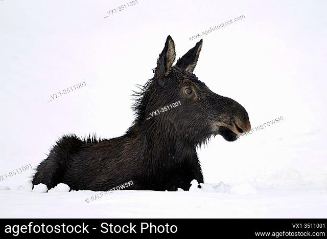 Moose / Elch ( Alces alces ) in its first winter, young calf, resting, lying, ruminating in snow, looks cute and funny, Yellowstone area, Wyoming, USA