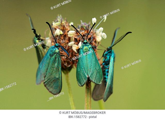 Four Green foresters (Procris statices, Procris heuseri), two males and two females