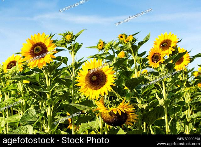 View to sunflower field, Helianthus annuus