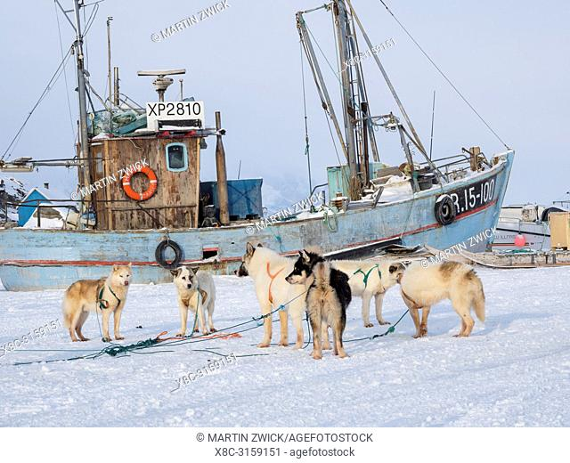 Team of sled dog during winter in Uummannaq in the north west of Greenland. Dog teams are still draft animals for the fishermen of the villages and stay all...