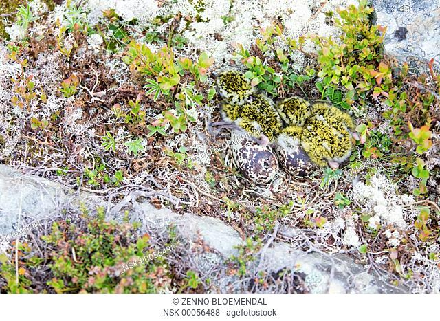 European Golden Plover (Pluvialis apricaria) two youngs in the nest with two eggs and one hatching, Norway, Sor-Trondelag