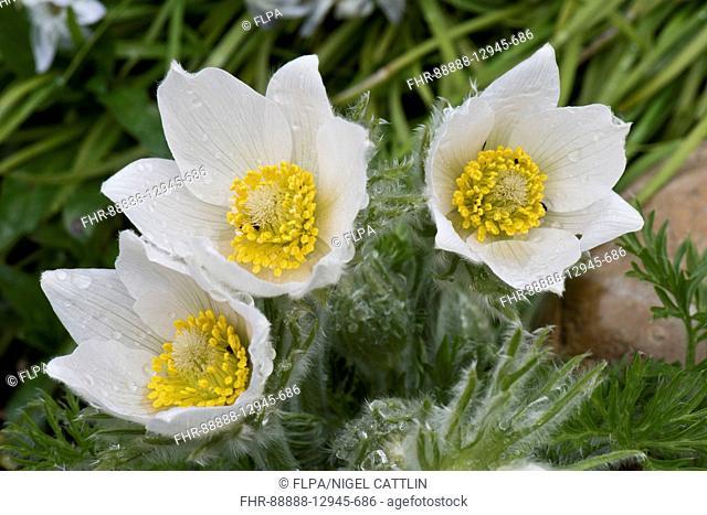 White Pasqueflower, Pulsatilla vulgaris 'Alba' ornamental perennial plant flowering on garden rockery in early spring, Berkshire, England, April