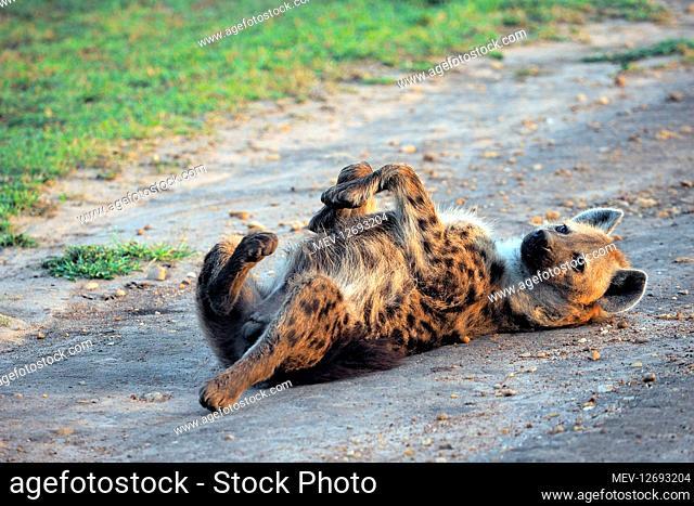 Hyena in the Masai Mara, Kenya, Africa Hyena in the Masai Mara, Kenya, Africa